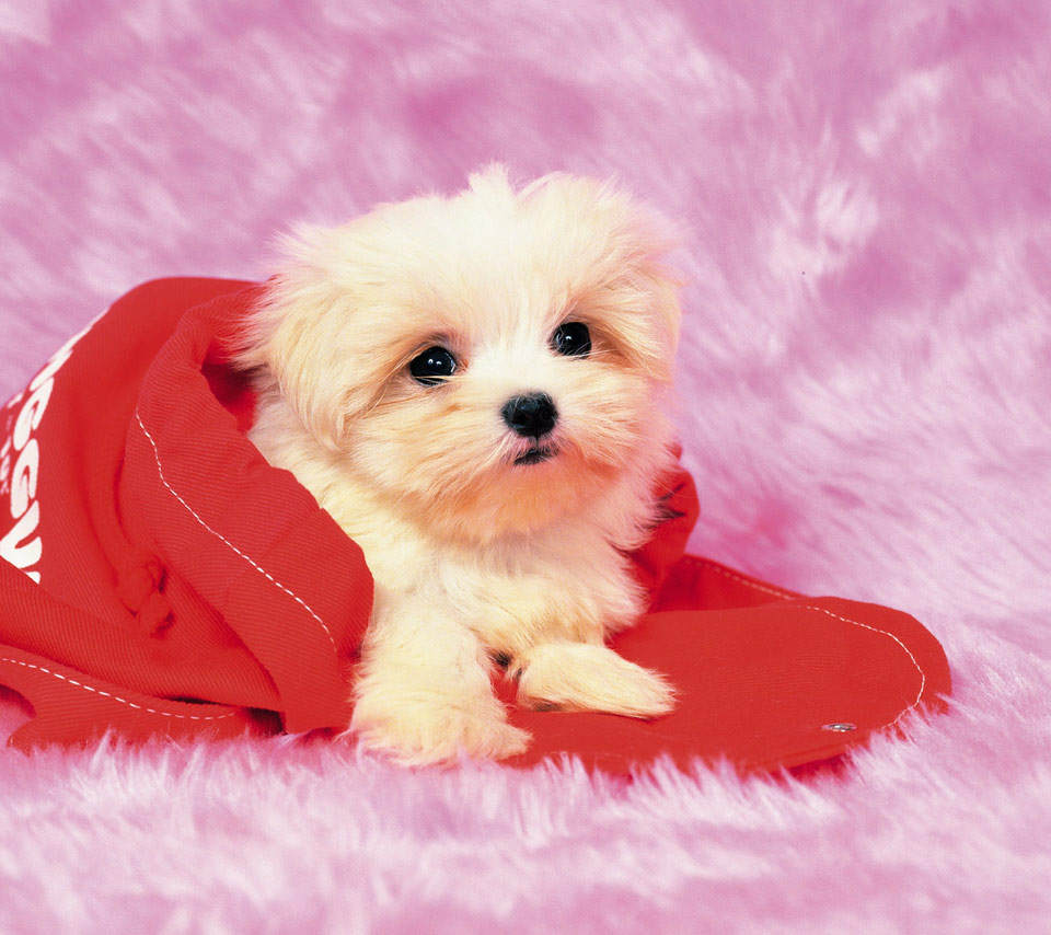cute maltese puppies Google Search on We Heart It