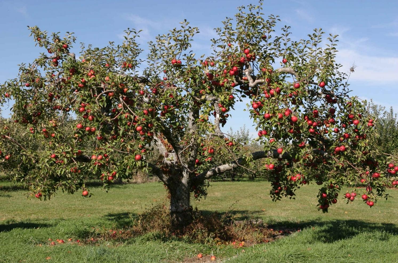 Apple Tree in the Backyard 4247783 1493x988 All For Desktop