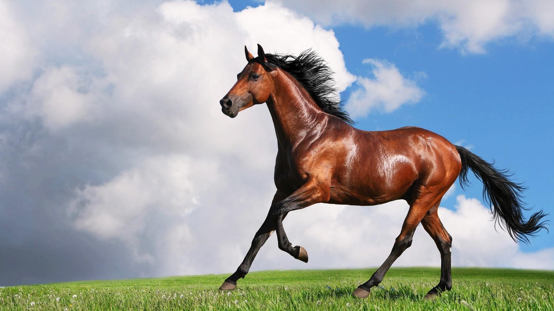 Arabian Horse Wallpaper Posted By Sarah Walker