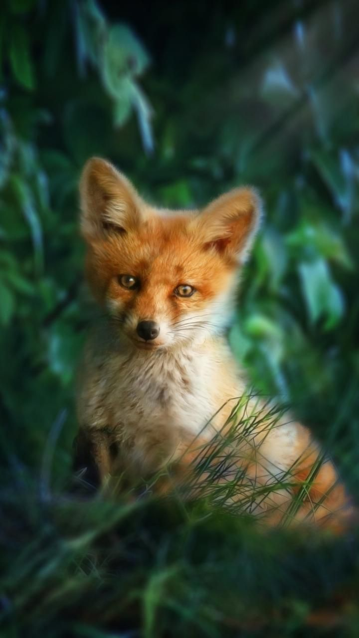 Baby Fox Wallpapers Posted By John Sellers