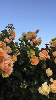 roses wallpapers Tumblr