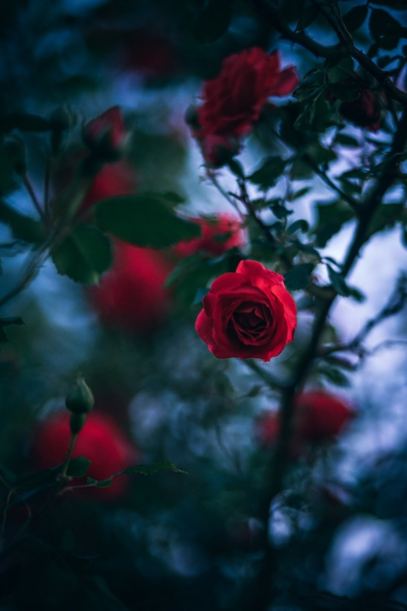Black And Red Roses Wallpapers Posted By John Johnson