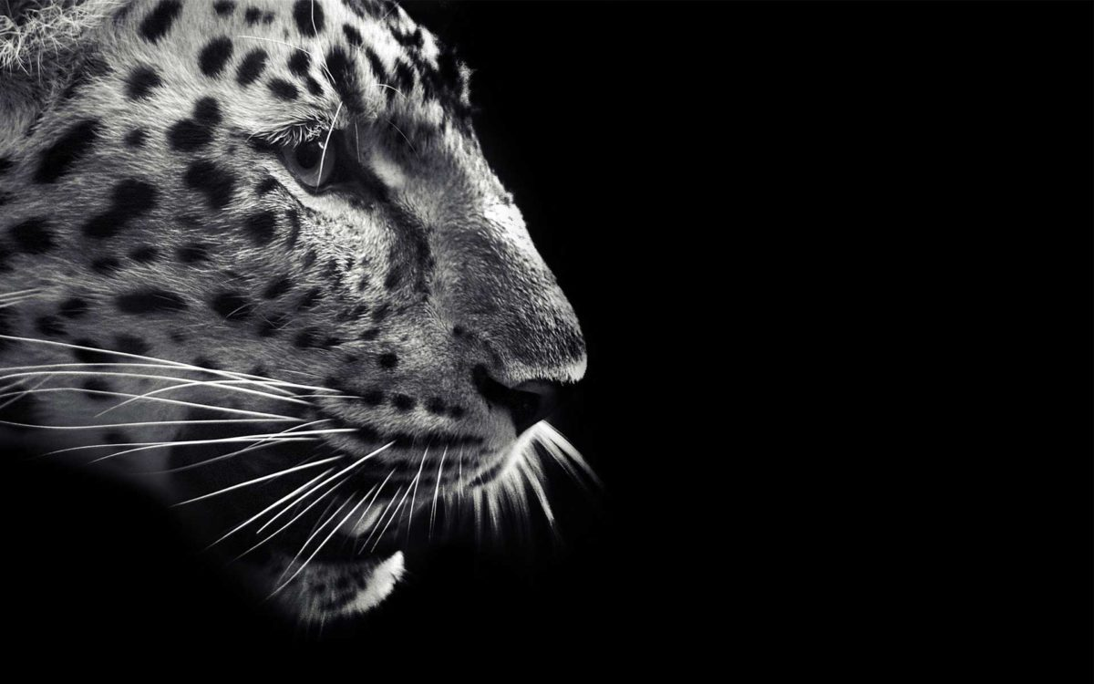 Black Jaguar Wallpaper Posted By Ryan Anderson