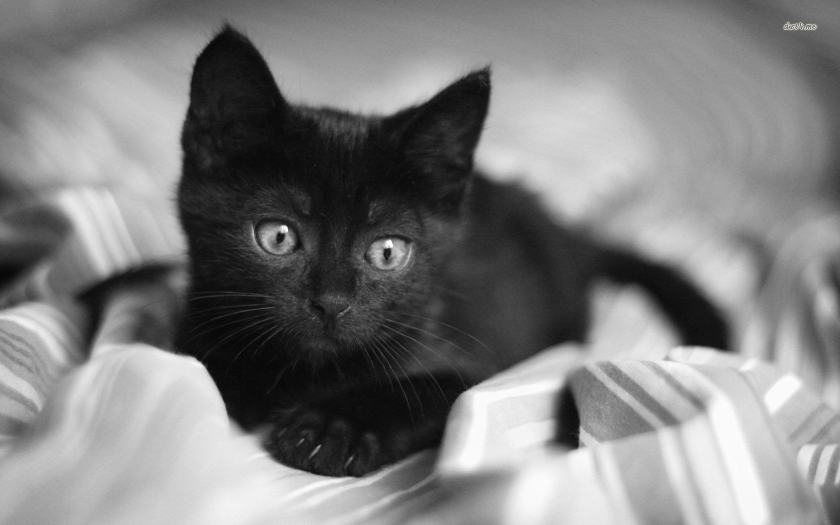 Black Kitten Wallpaper Posted By Sarah Peltier