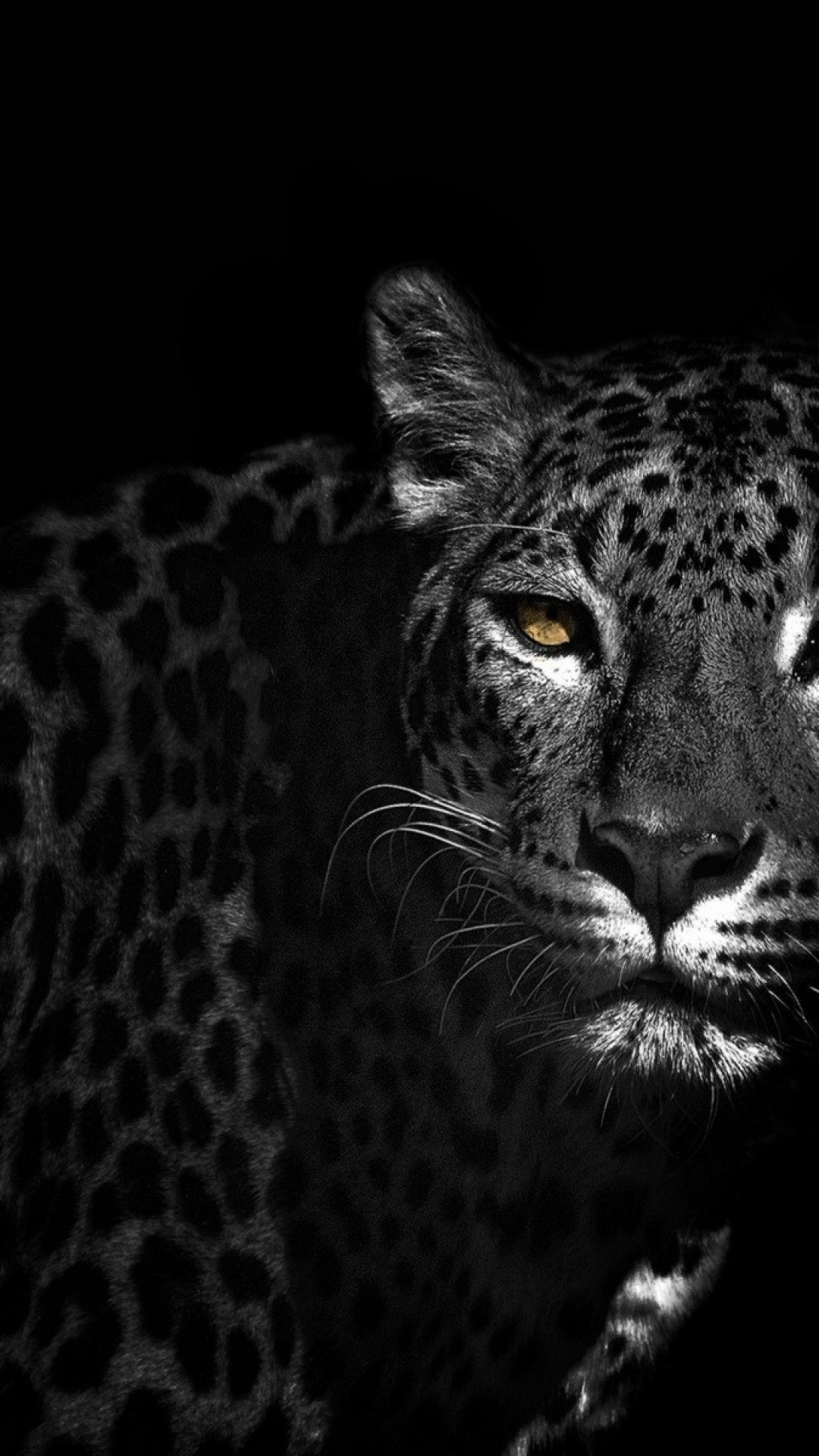 Black Leopard Wallpaper Posted By Zoey Cunningham