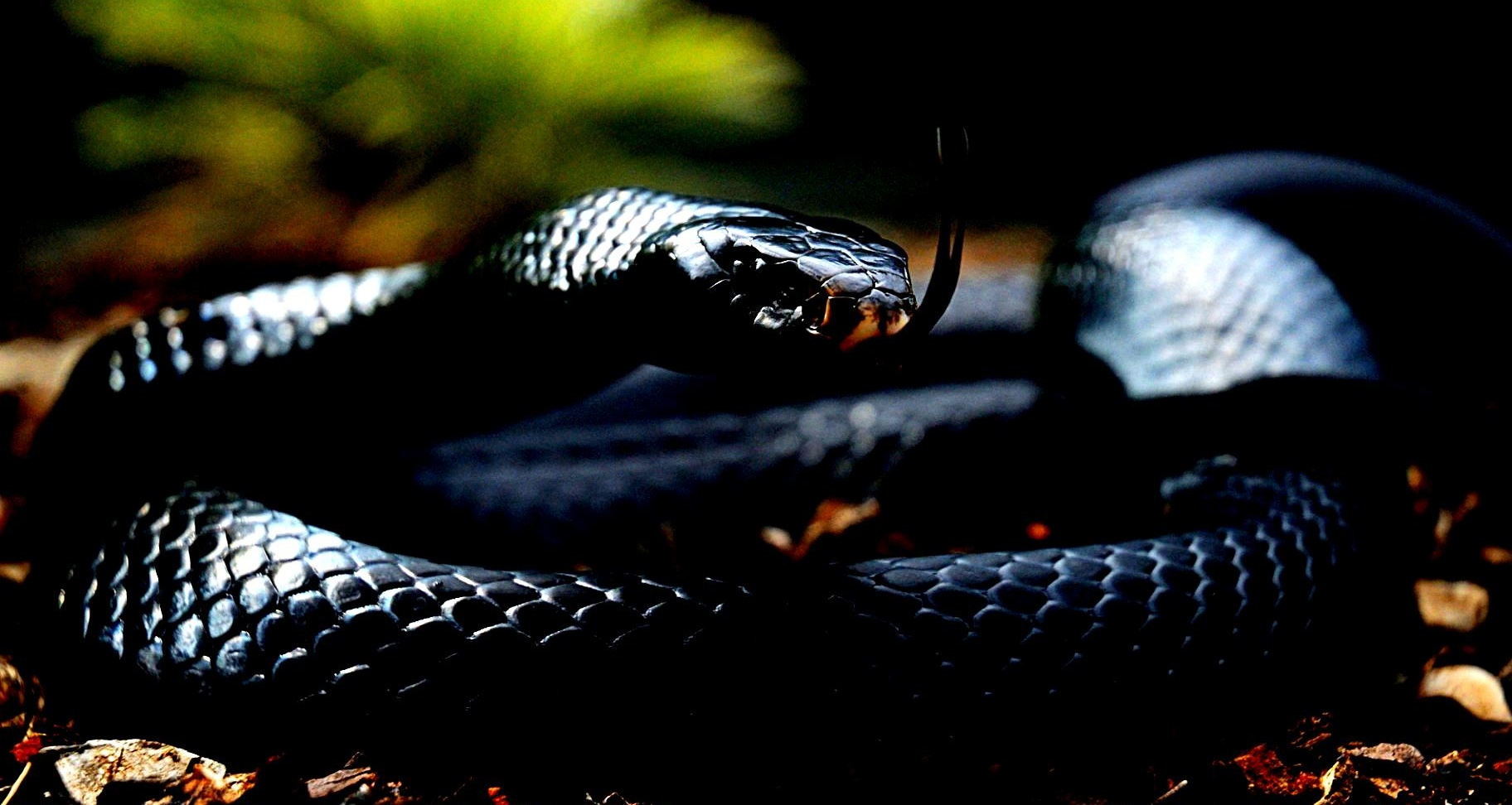 Black Mamba Wallpapers Posted By Michelle Tremblay