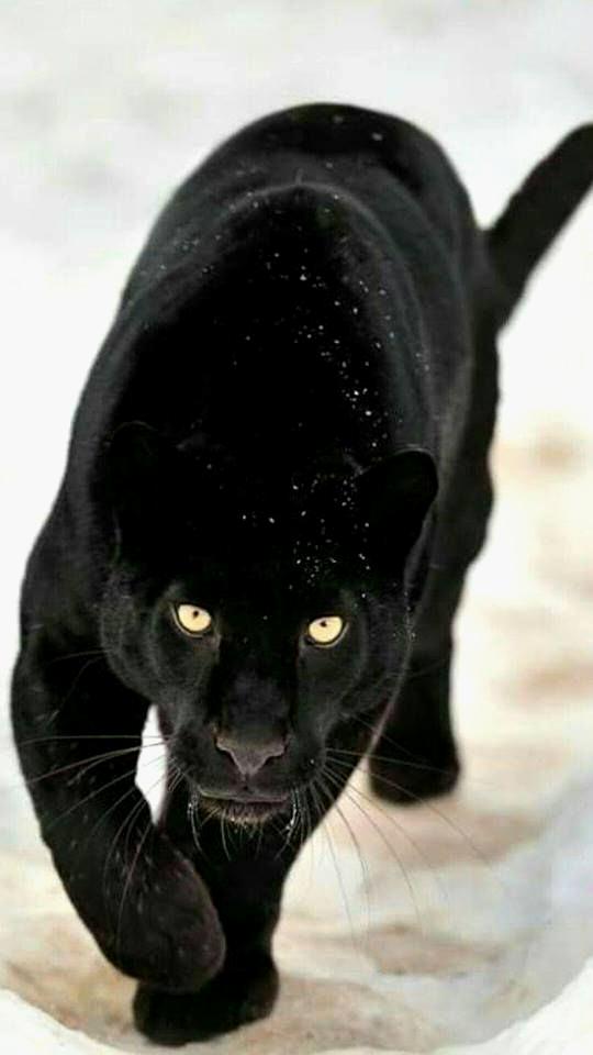 Black Panther Animal Wallpaper Posted By Samantha Mercado