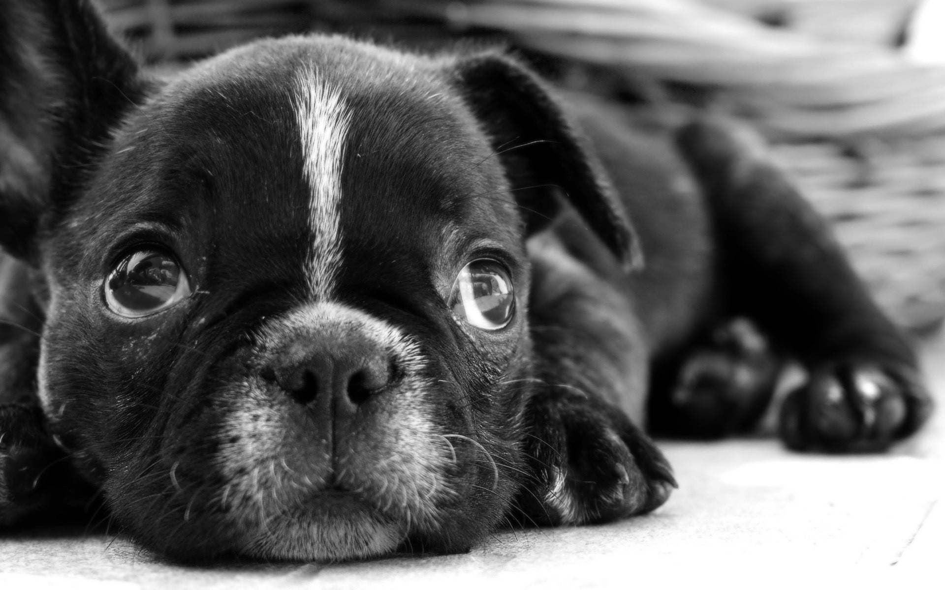 Black Pug Wallpaper Posted By Zoey Cunningham