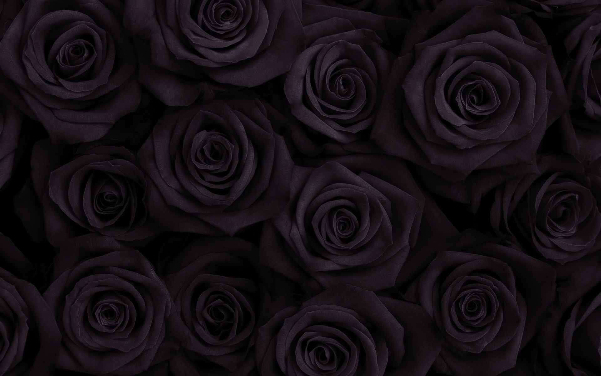 Black Rose Hd Posted By Sarah Tremblay