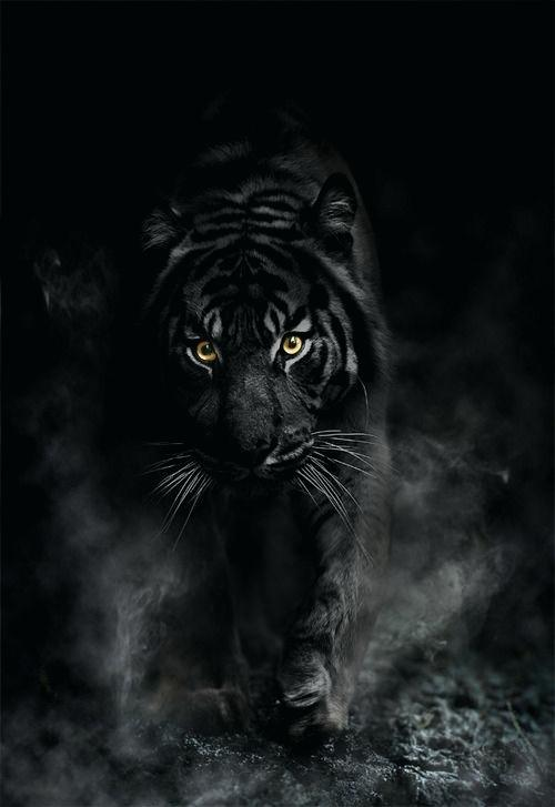 Black Tiger Wallpapers Posted By Michelle Sellers
