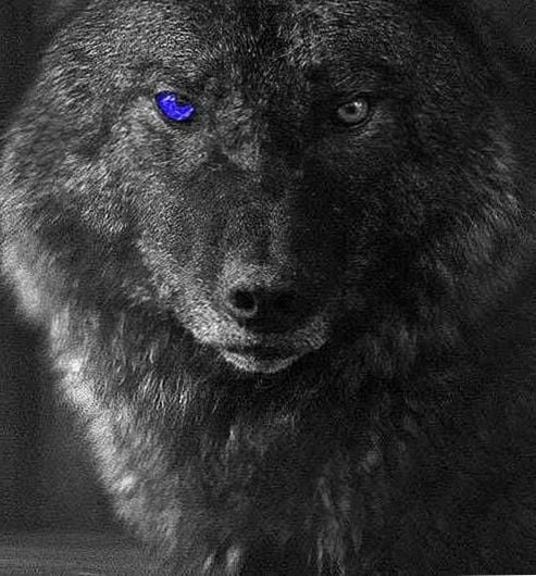 Black Wolf With Blue Eyes Wallpaper Posted By Christopher Mercado