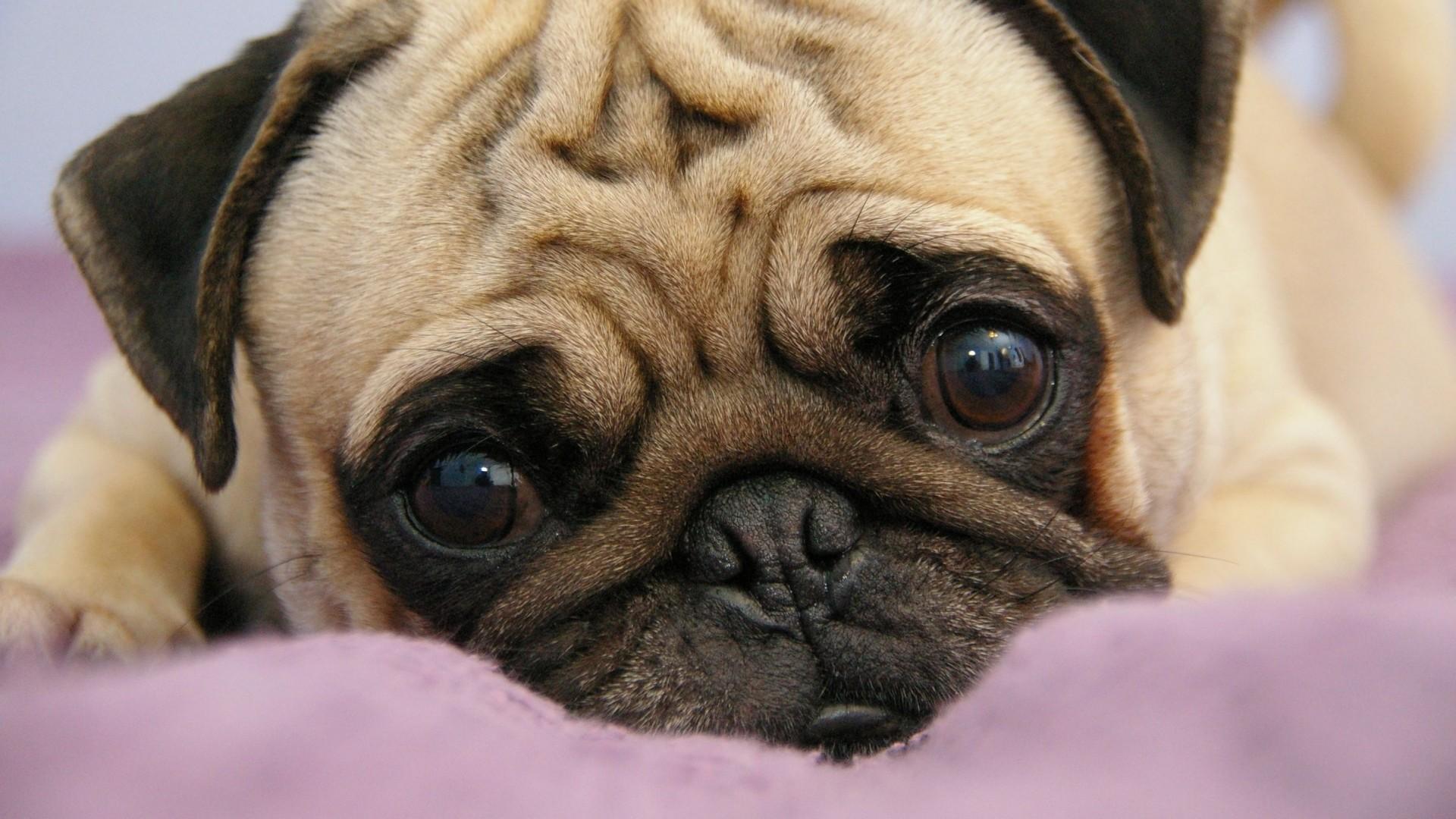 Brown And Black Pugs Wallpapers Posted By Sarah Tremblay