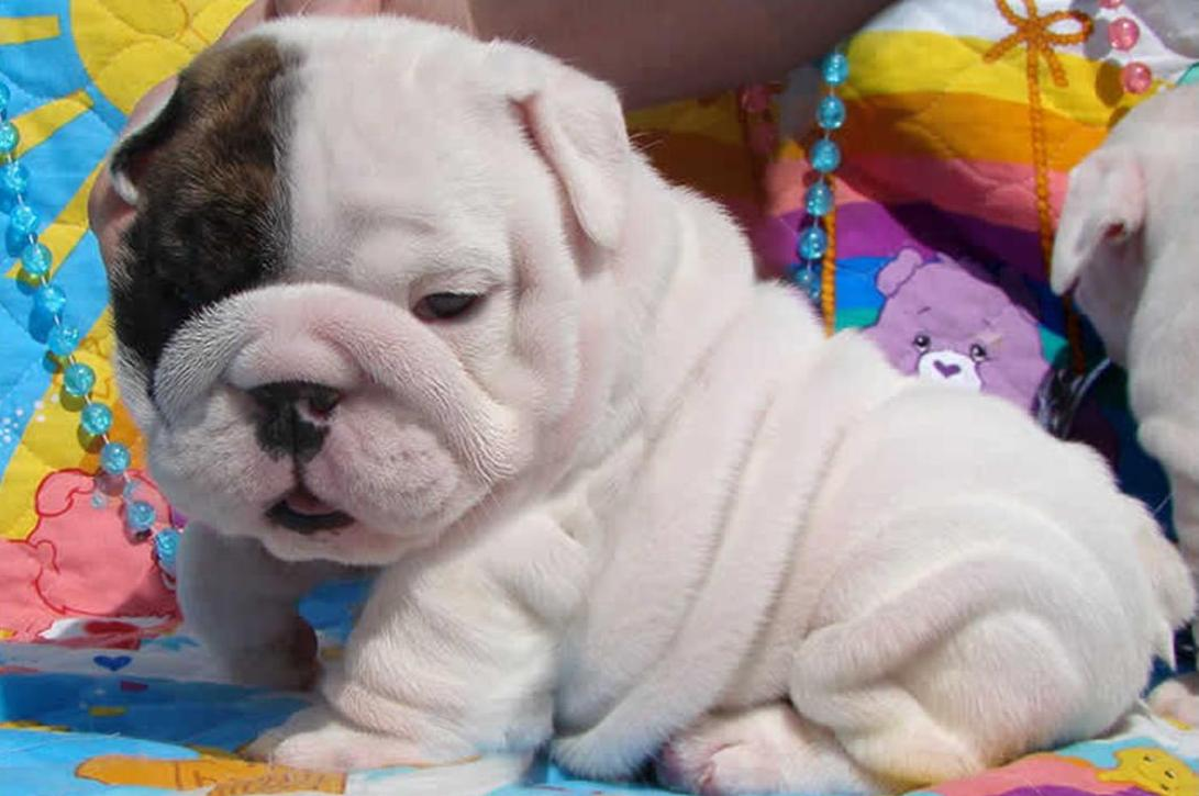 Bulldog Puppy Wallpapers Posted By Michelle Tremblay