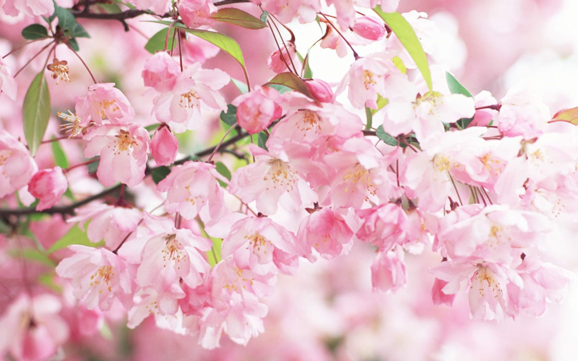 Cherry Blossom Background Tumblr Posted By Zoey Walker
