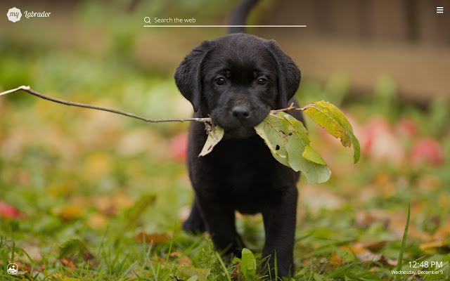Chocolate Labs Wallpaper Posted By Ryan Sellers