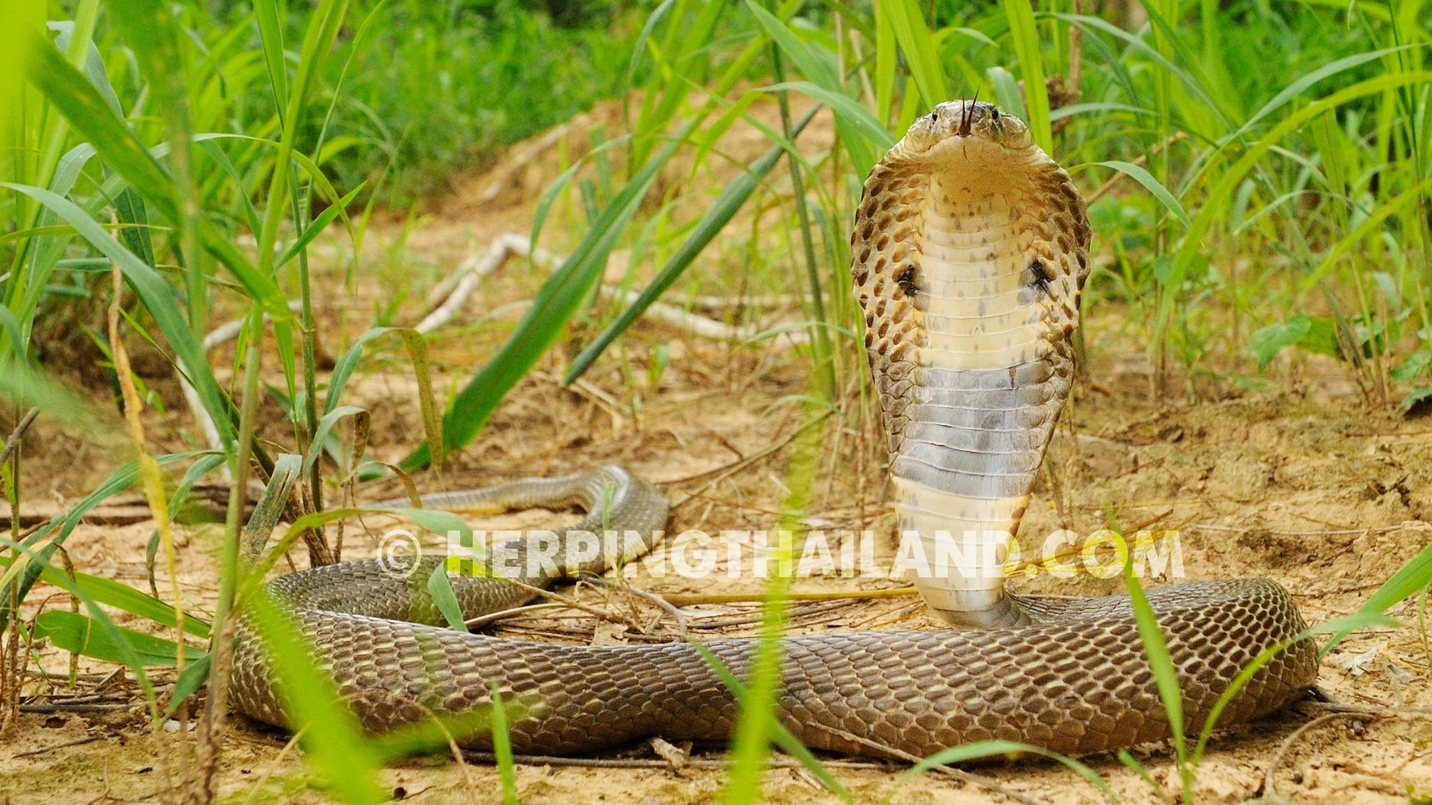 3d King Cobra Snake Wallpaper , 67+ image collections of