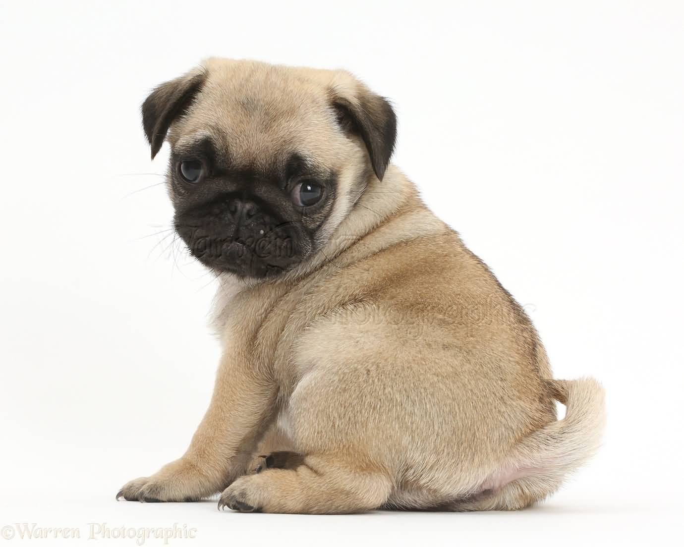 Cute Baby Pugs Wallpaper Posted By