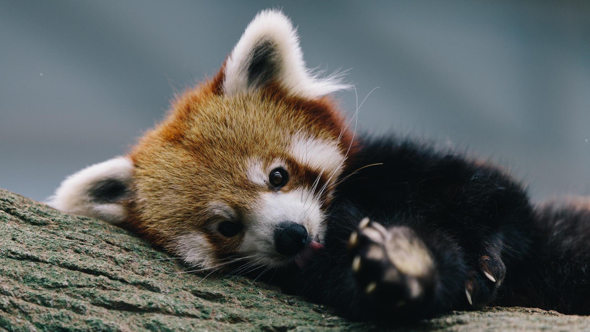Cute Red Panda Wallpaper Posted By Zoey Simpson