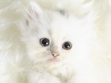 Cute White Cats Posted By Sarah Walker