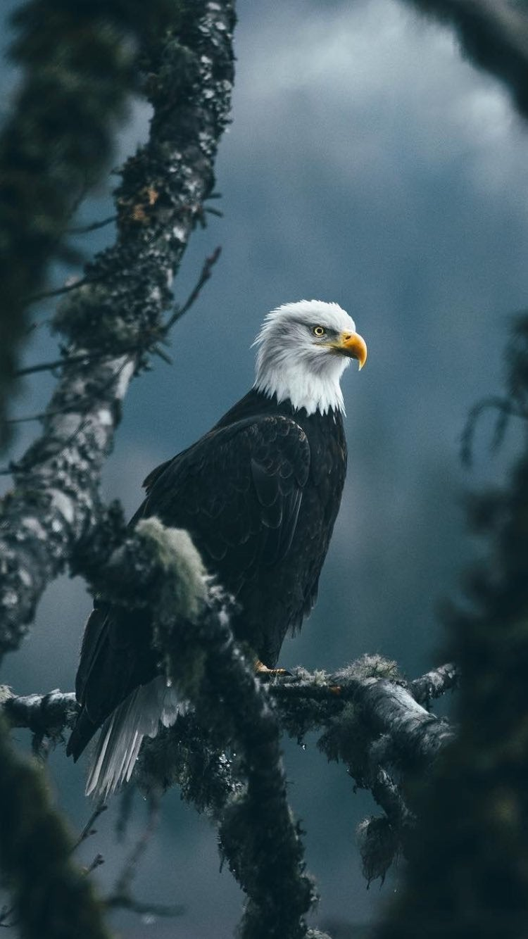 Eagle Wallpaper Posted By Zoey Cunningham