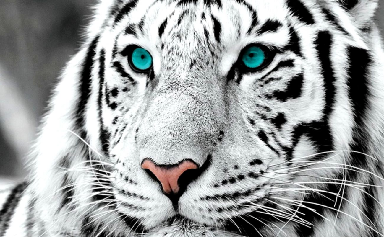 White Bengal Tiger With Blue Eyes Wallpaper Wallpapers Nature