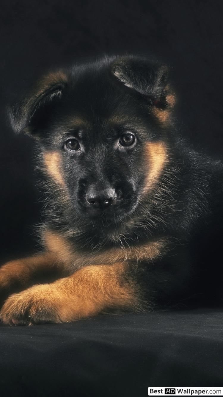 German Shepherd Puppy Wallpaper Posted By Christopher Peltier