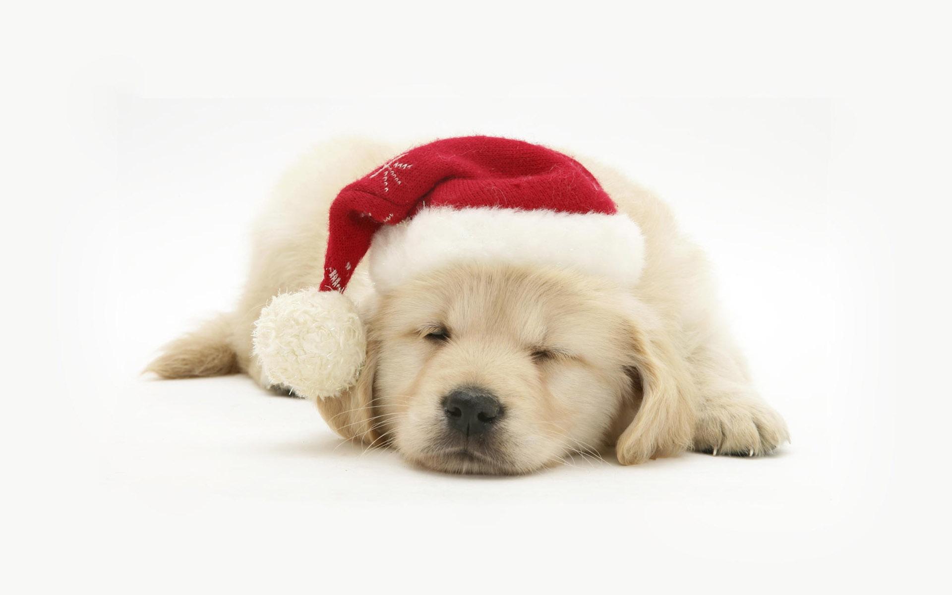Golden Retriever Puppy Wallpaper Posted By Sarah Mercado
