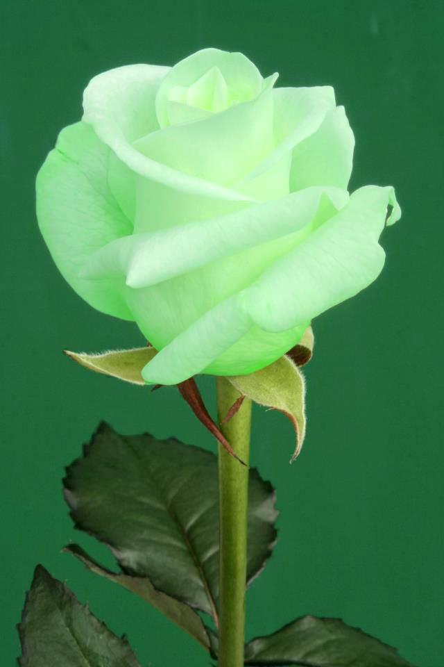 Green Rose Wallpaper Posted By Christopher Thompson