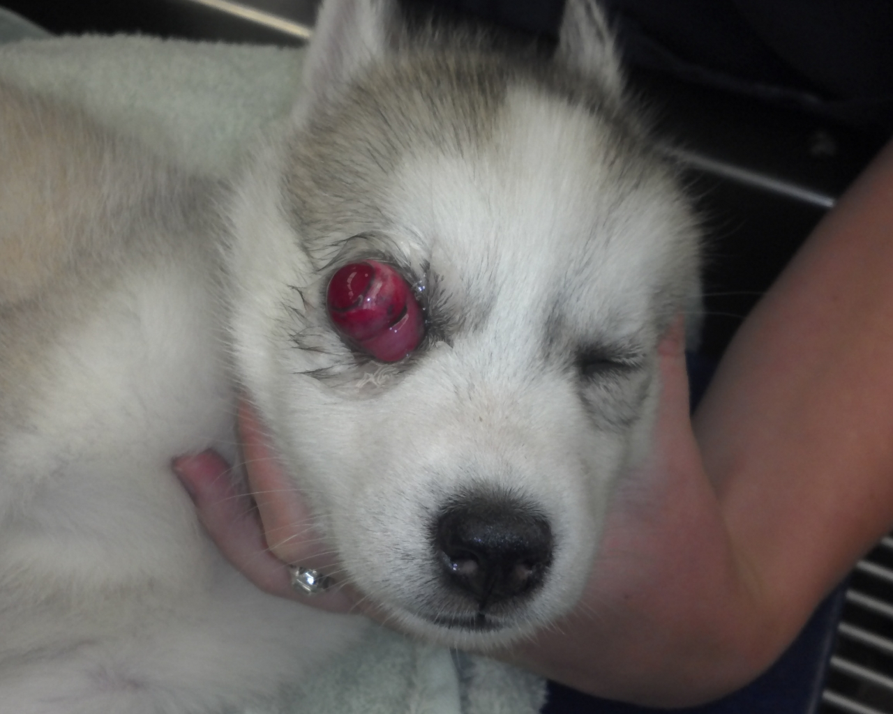Husky Puppy Wallpaper Posted By Ryan Peltier
