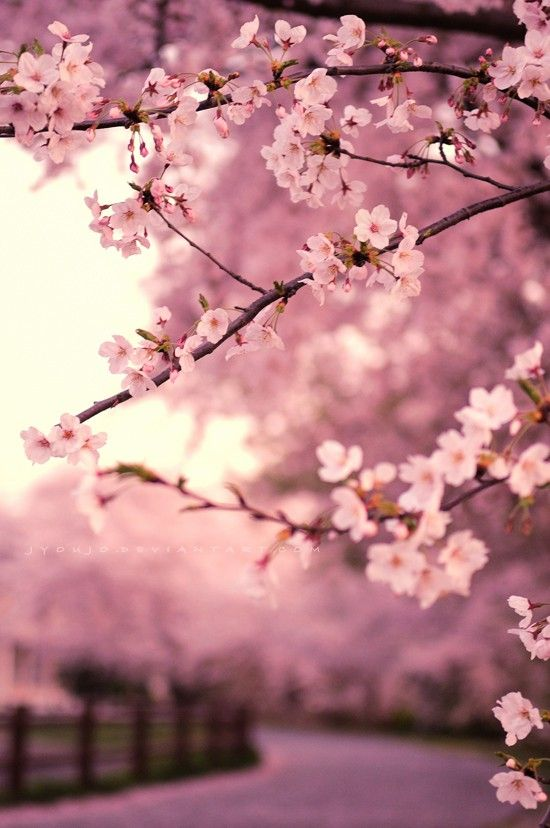 Japanese Cherry Blossom Live Wallpaper Posted By Ethan Sellers