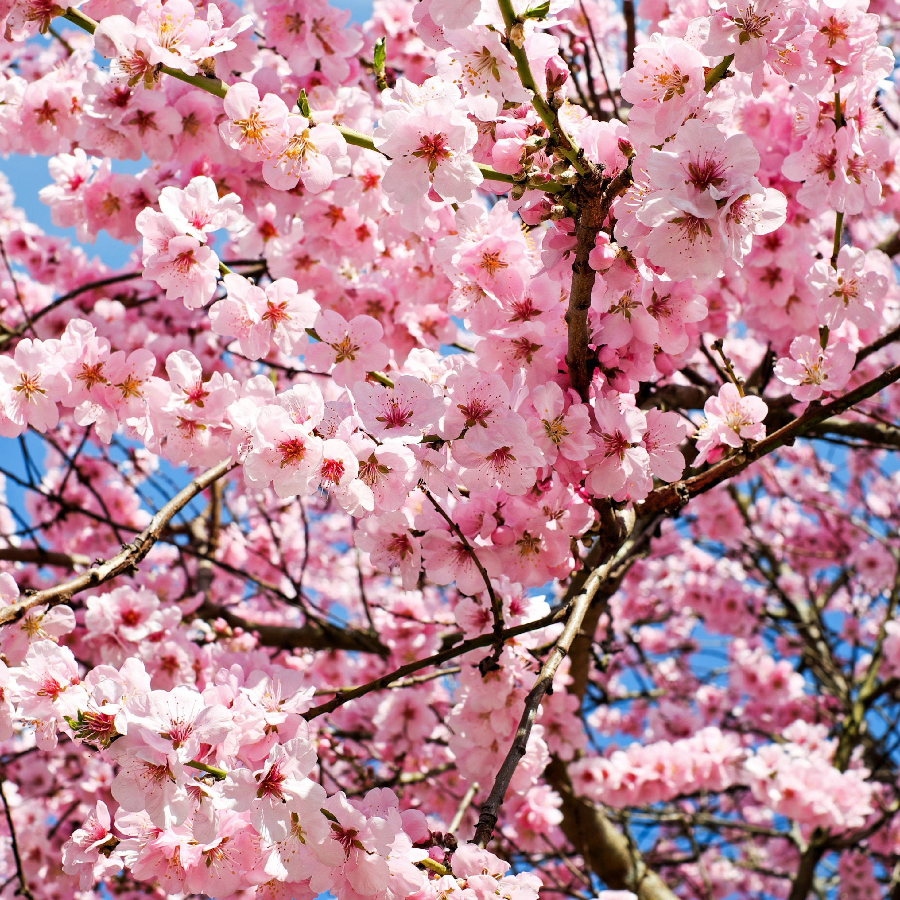 Japanese Cherry Blossom Tree Wallpaper Posted By Ryan Walker