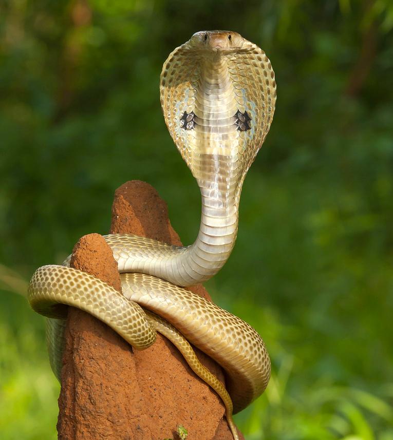 Indian King Cobra Snake Wallpaper Indian Cobra Hd