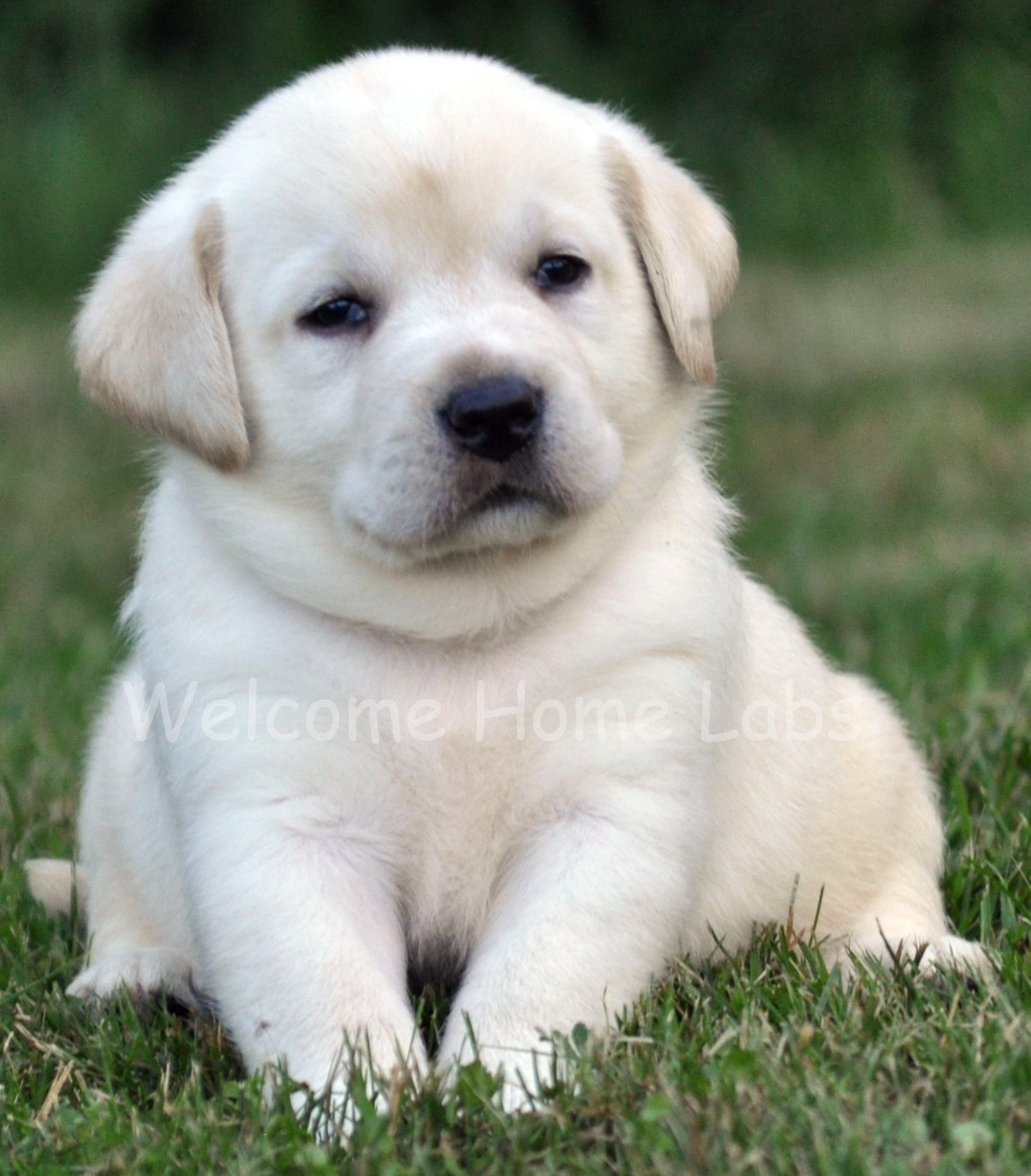 Labrador Puppies Wallpapers Posted By Christopher Walker