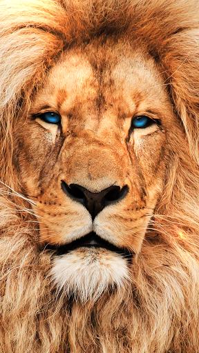 3d Lion Live Wallpaper 49 Group Wallpapers