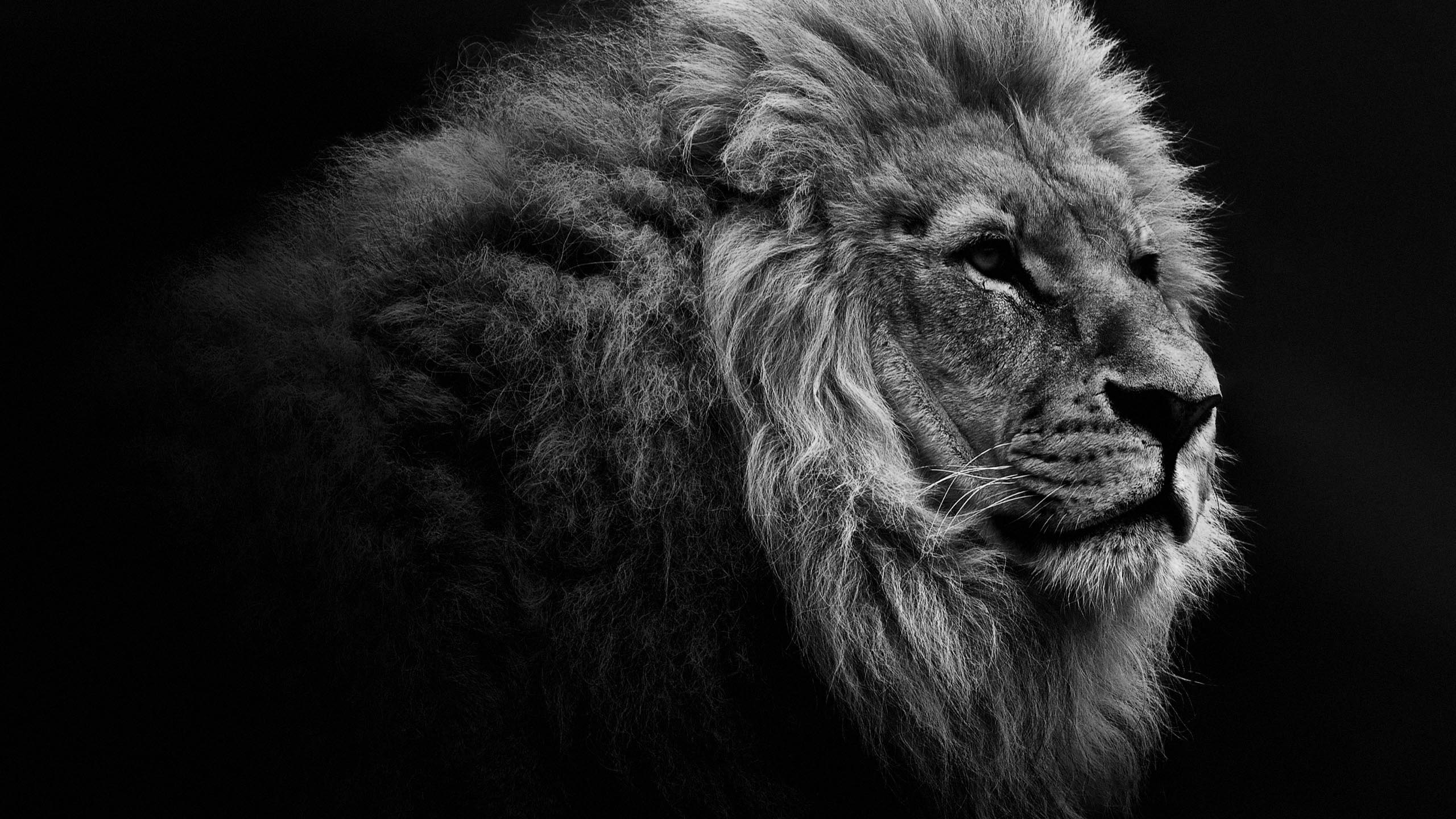 Lion Desktop Wallpaper Posted By Christopher Johnson