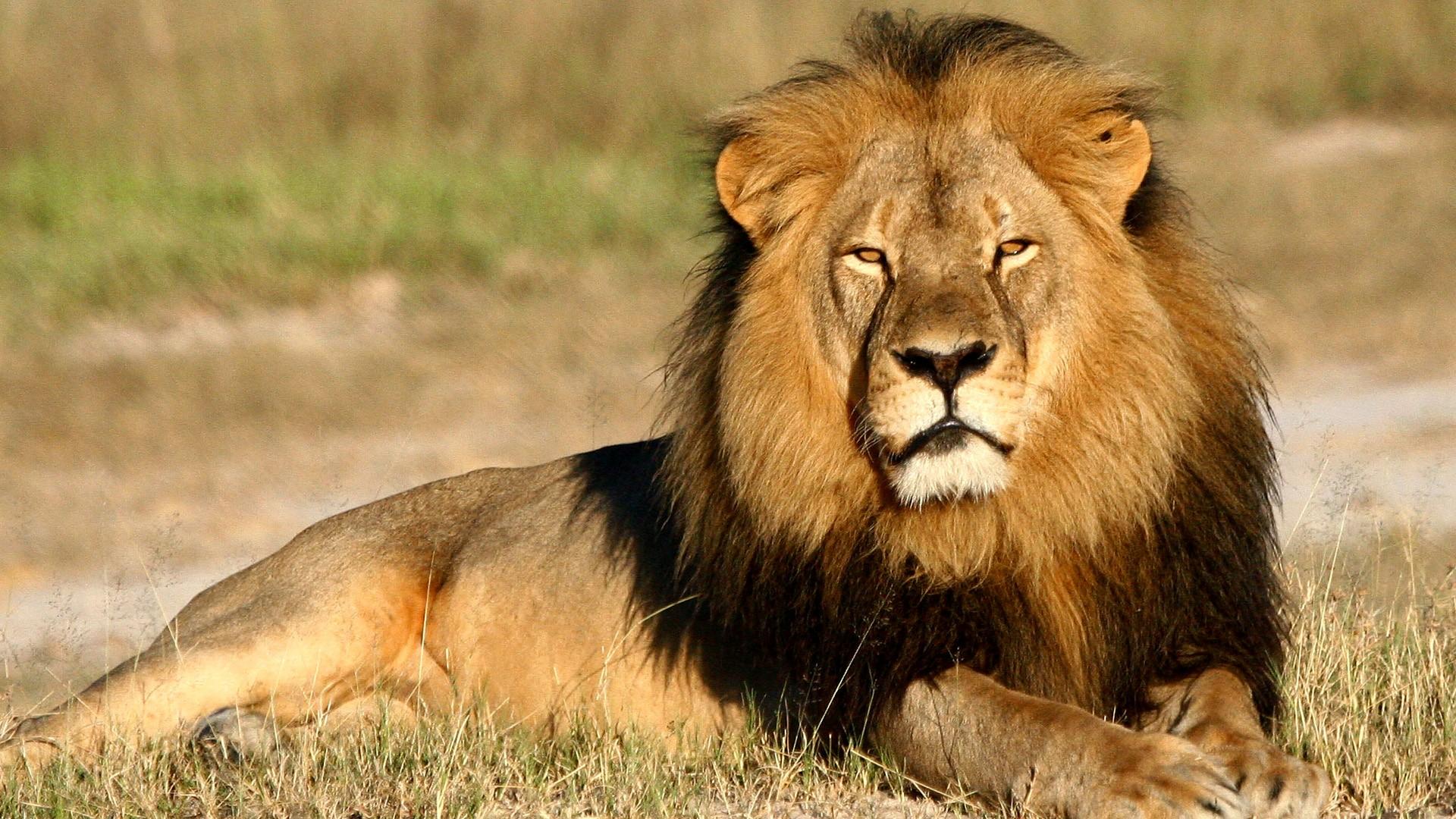 Lion Images Hd