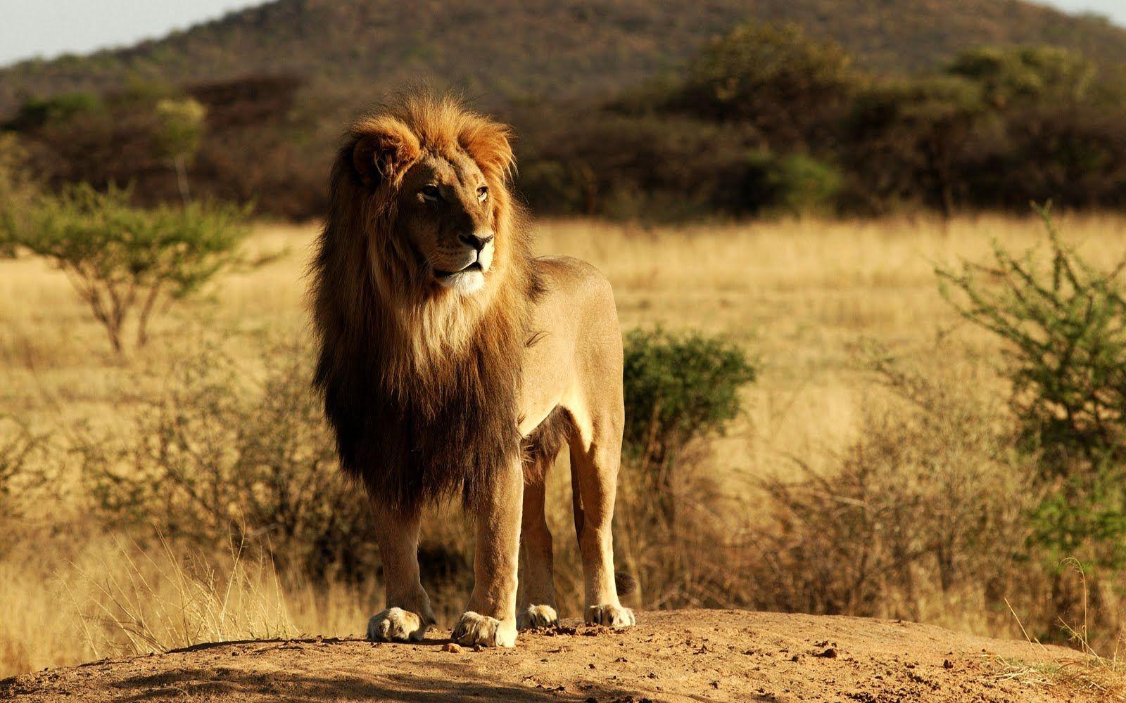 cartoons disney company simba the lion king 3d timon