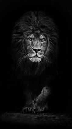Lion Wallpaper Black And White Posted By Ryan Walker