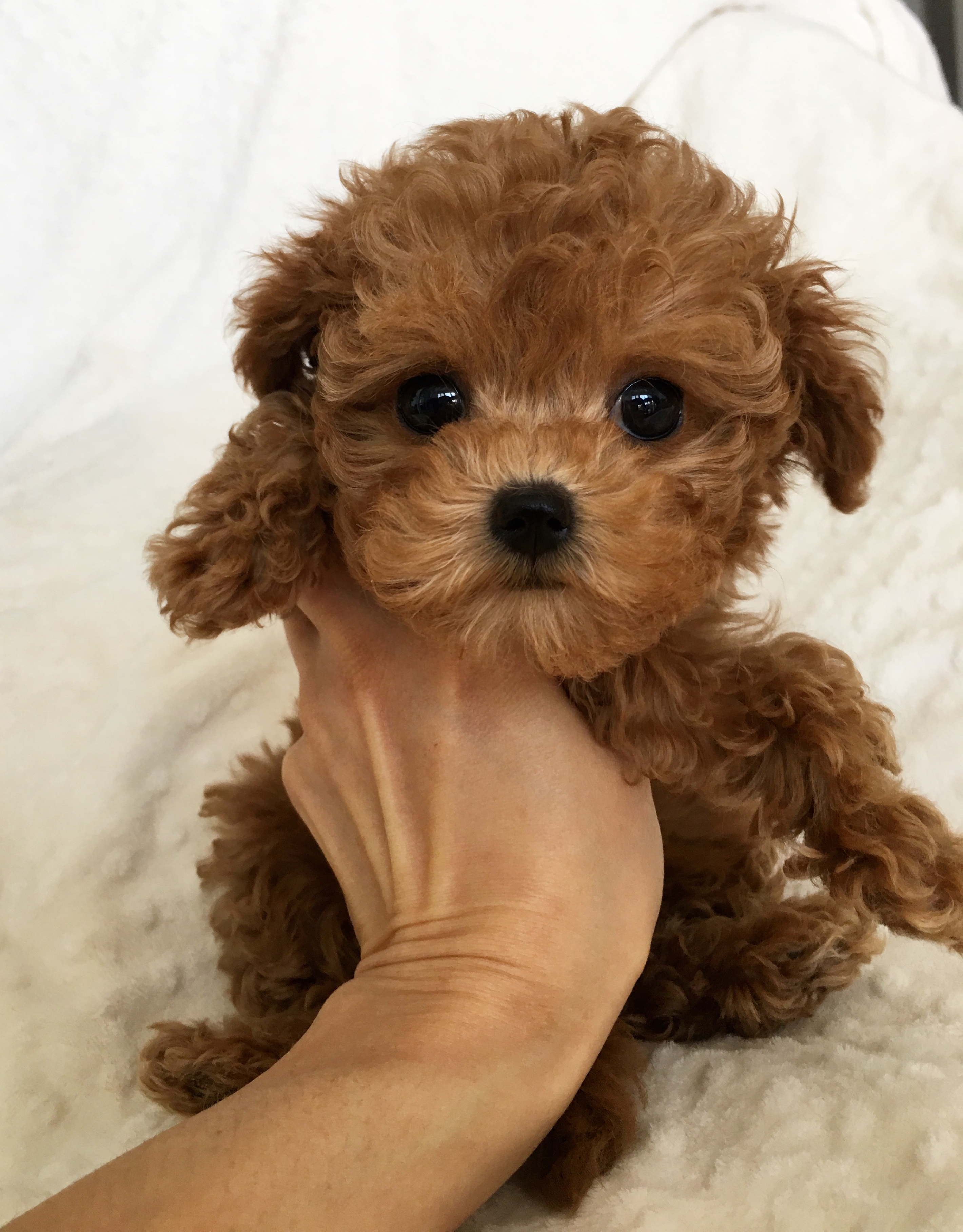Maltipoo Puppies Names Posted By