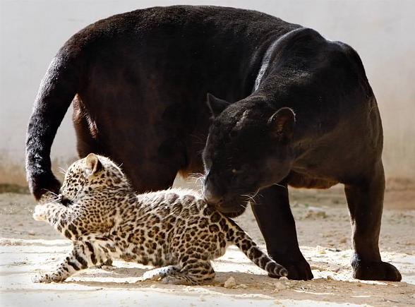 Panther Animal Images Posted By Zoey Thompson