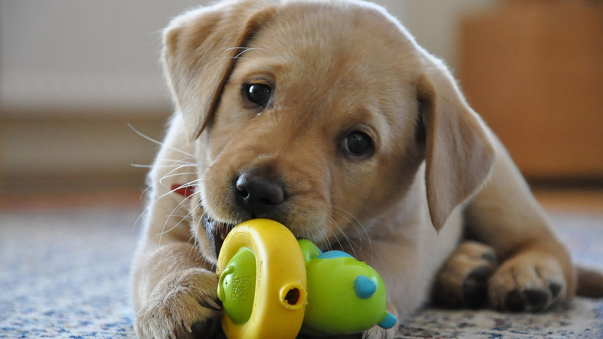 Labrador Puppy Posted By John Anderson