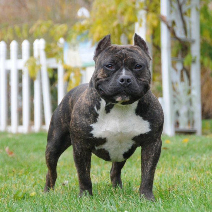 American Bully Posted By Ryan Thompson