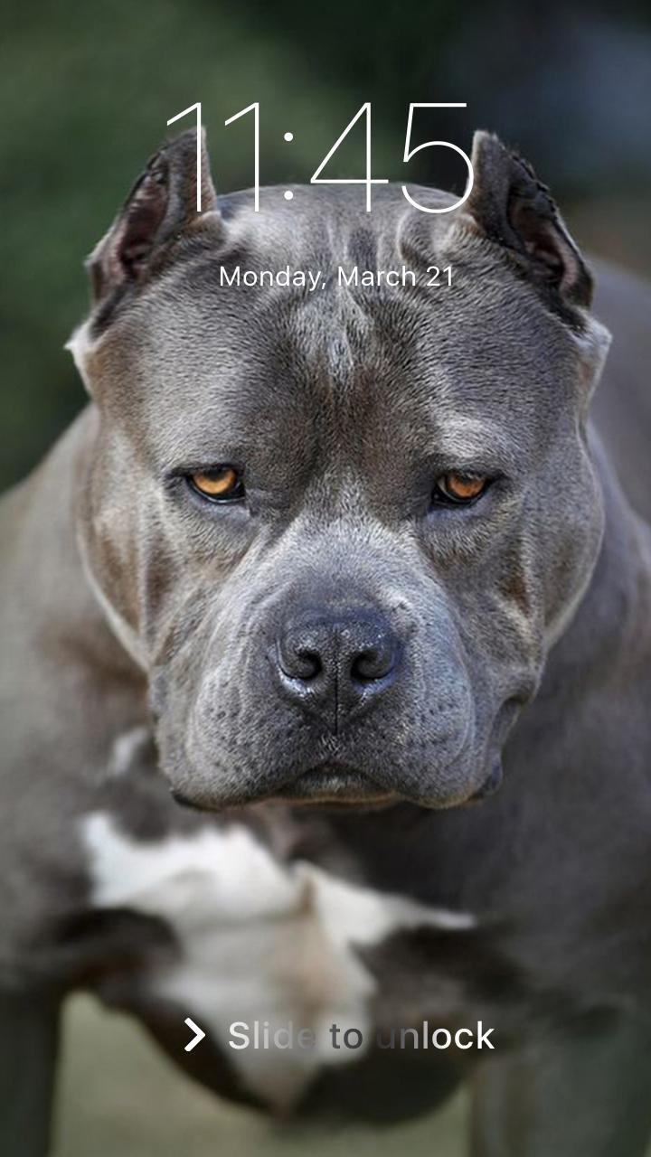 Pitbull Dogs Wallpapers Posted By Ethan Walker