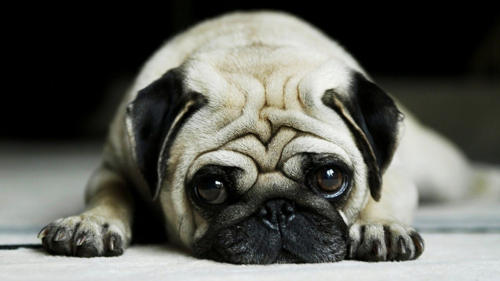 Pug Dog Hd Wallpaper For Laptop Posted By John Johnson