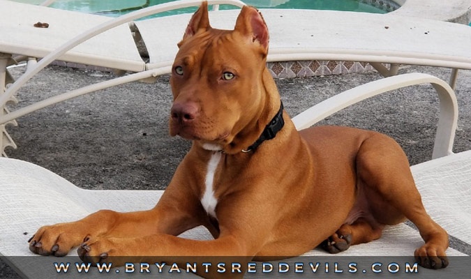 Red Nose Pitbull Picture Posted By