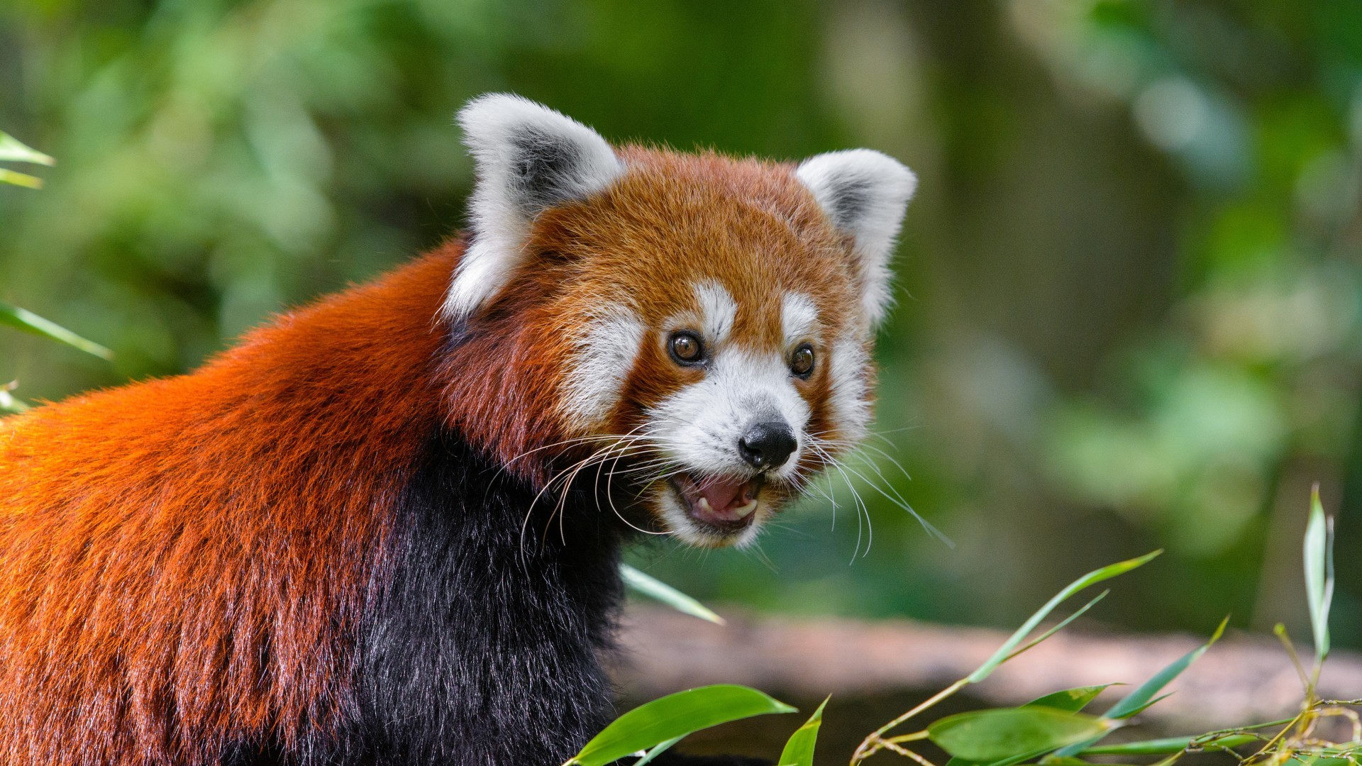Red Panda Background Posted By John Walker