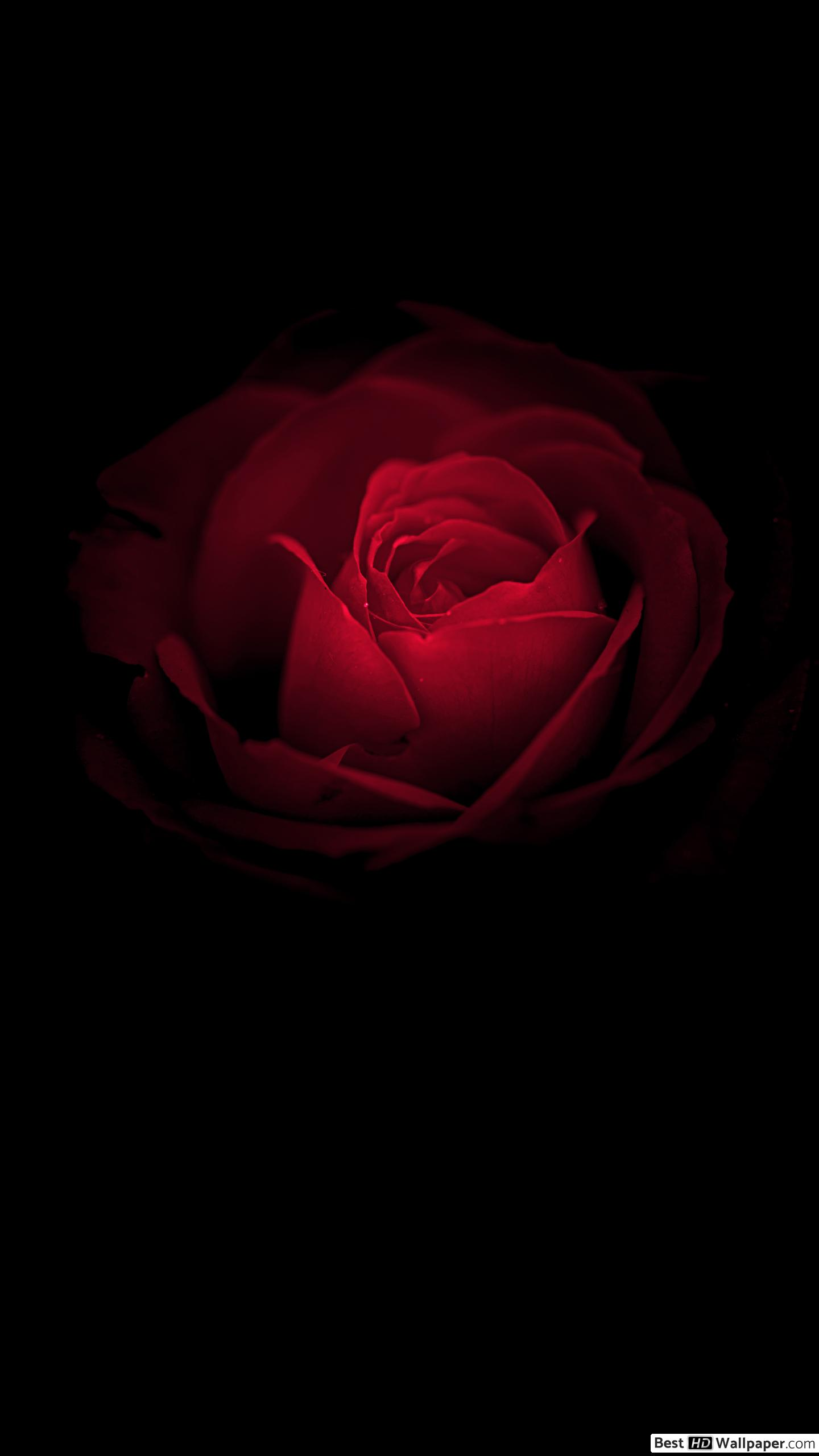 Red Rose Wallpaper Hd Posted By Sarah Walker