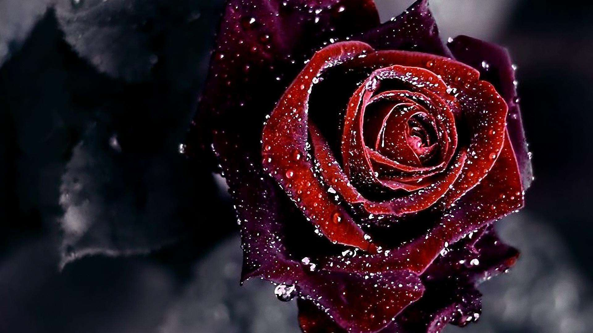 Red Roses With Black Backgrounds Posted By Sarah Simpson