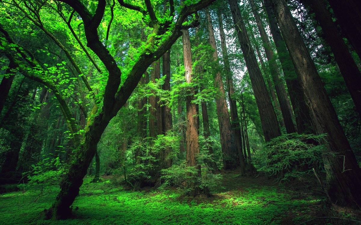 Redwood Forest Wallpapers Posted By Michelle Cunningham
