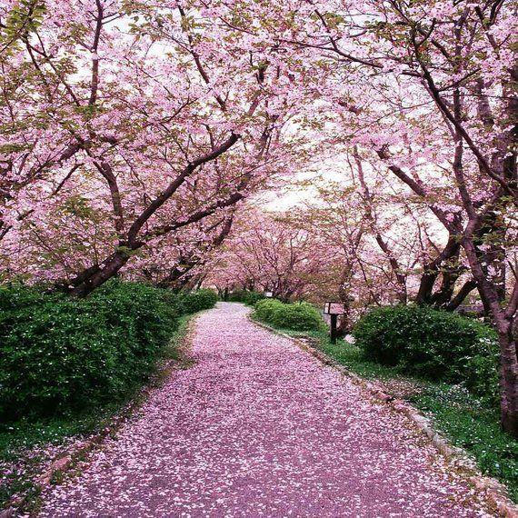Sakura Tree Background Posted By John Simpson